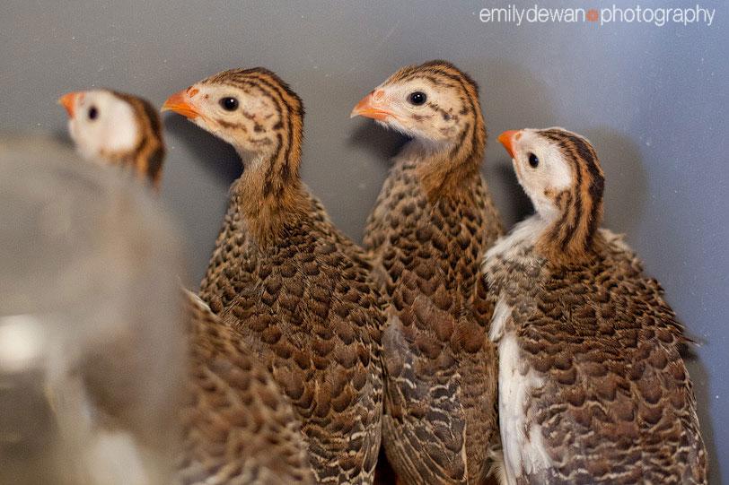 maine farm baby guinea fowl keets