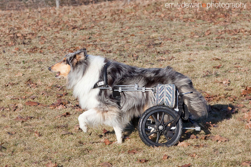 collie canine degenerative myelopathy eddie's wheels