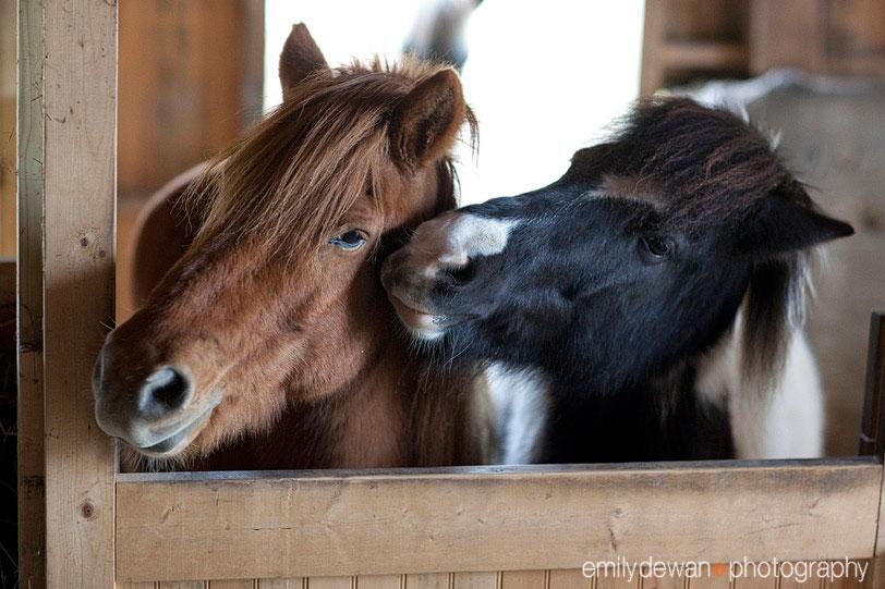 maine farm icelandic horses