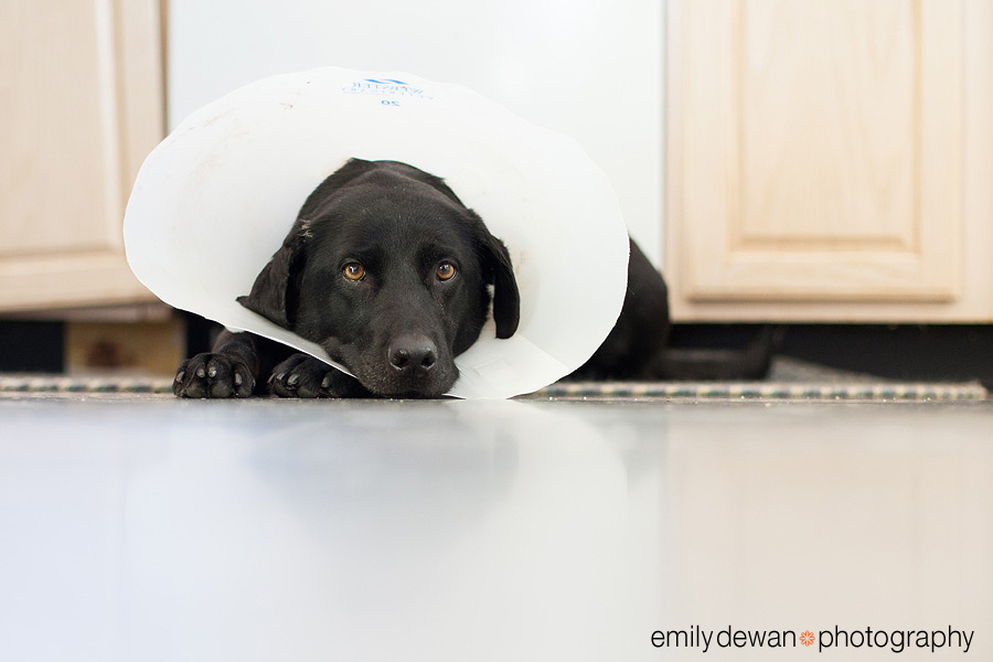 maine dog lab cone of shame
