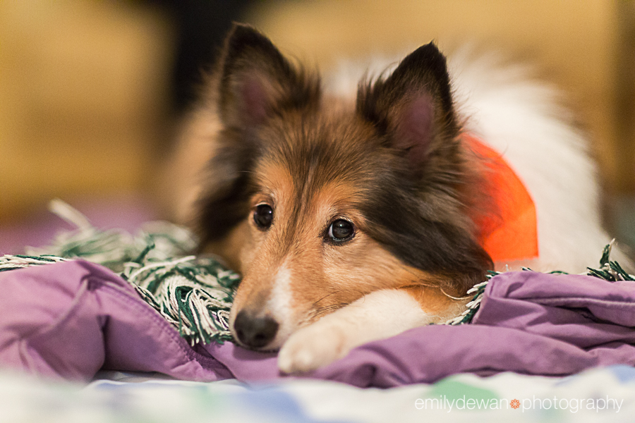 chicago sheltie