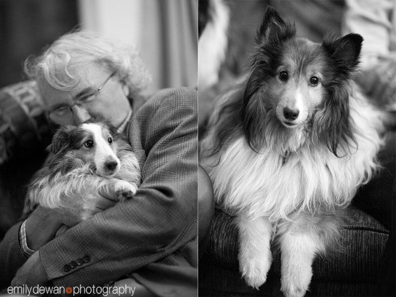 chicago sheltie dog